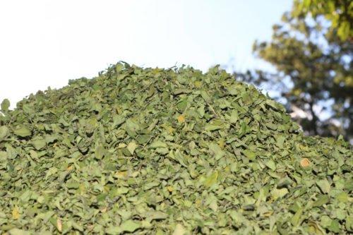 hojas-ygua-1000-3