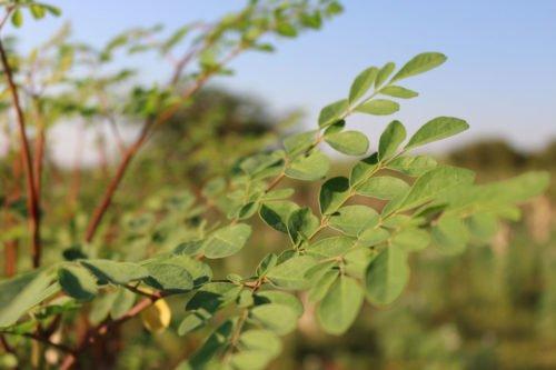 hojas-ygua-1000-4