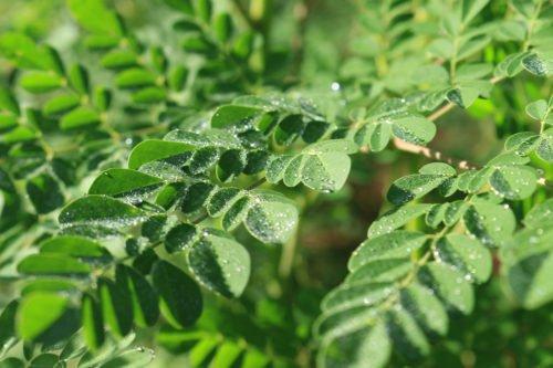 hojas-ygua-125-3