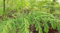 hojas-ygua-125-6