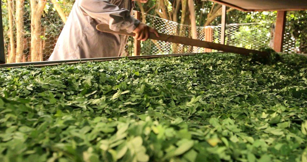 secado-hojas-moringa