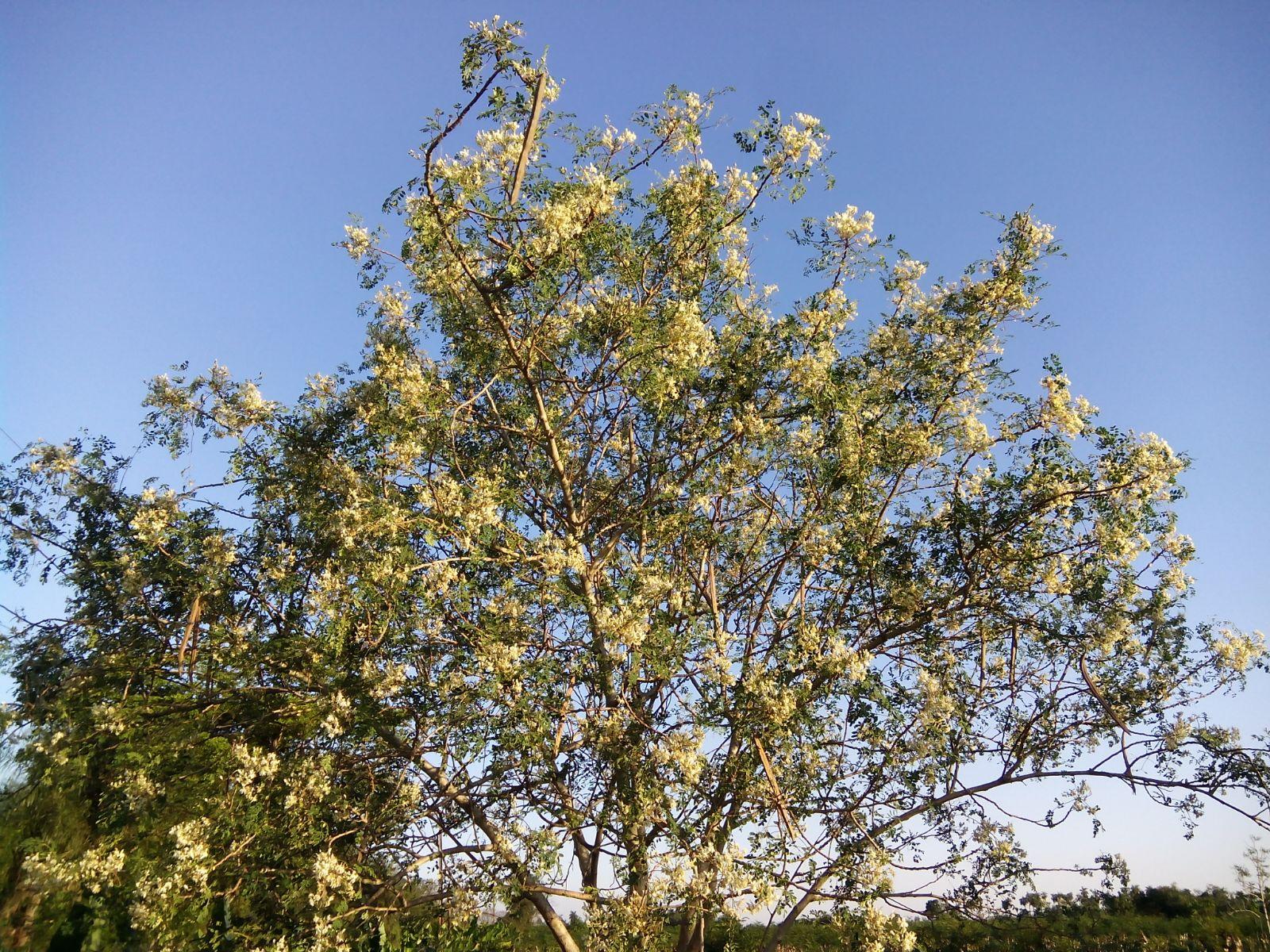 Árbol de Moringa en flor.